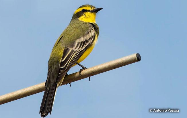 yellow-browed_tyrant