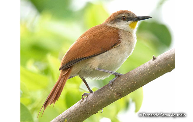 yellow-chinned_spinetail