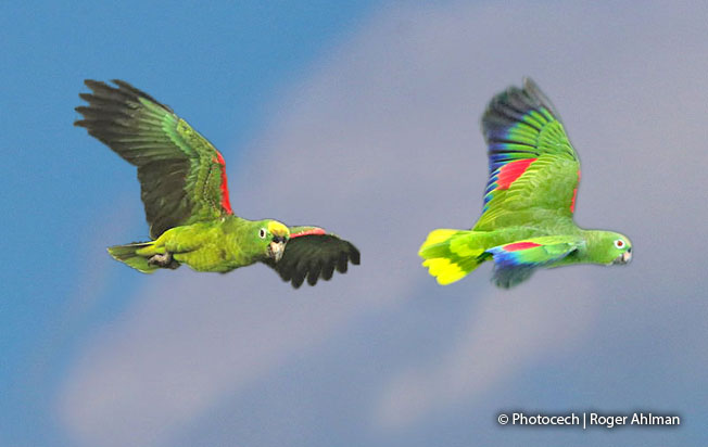 yellow-crowned-parrot