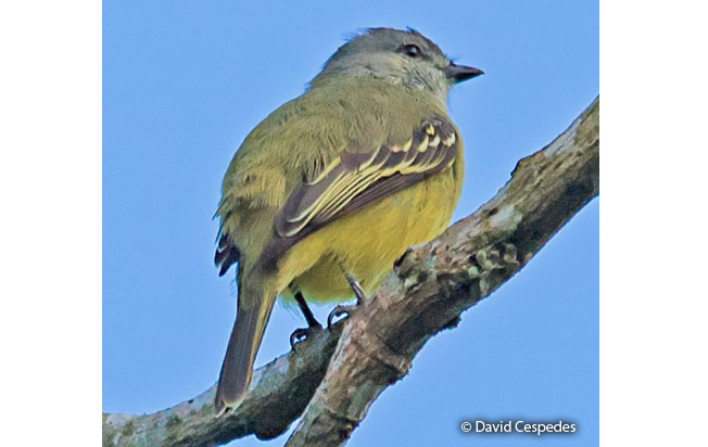 yellow-crowned_tyrannulet