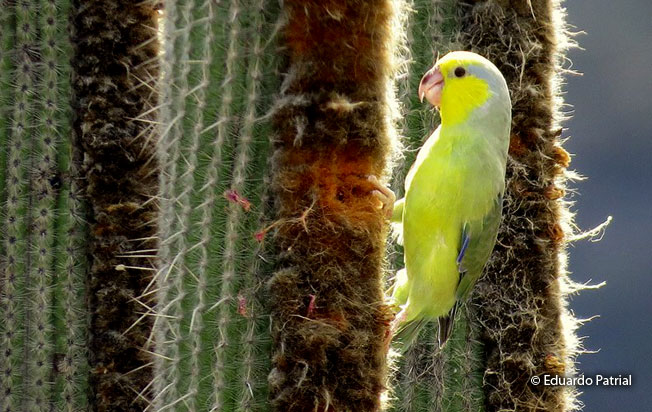 yellow-faced_parrotlet