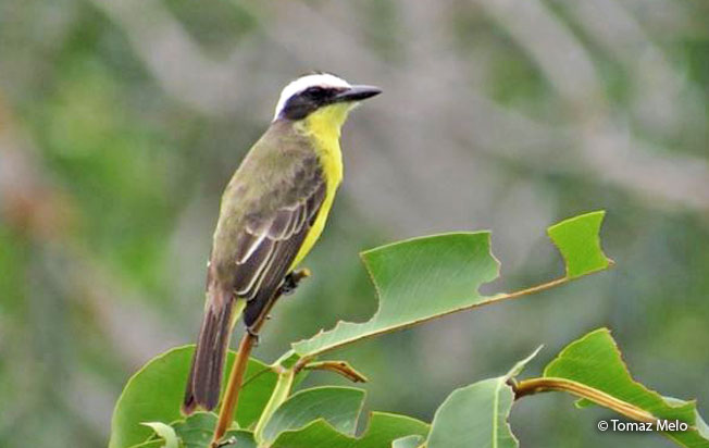 yellow-throated_flycatcher