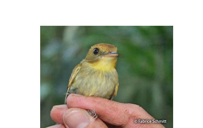 yellow-throated_spadebill