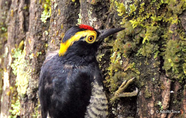 yellow-tufted_woodpecker