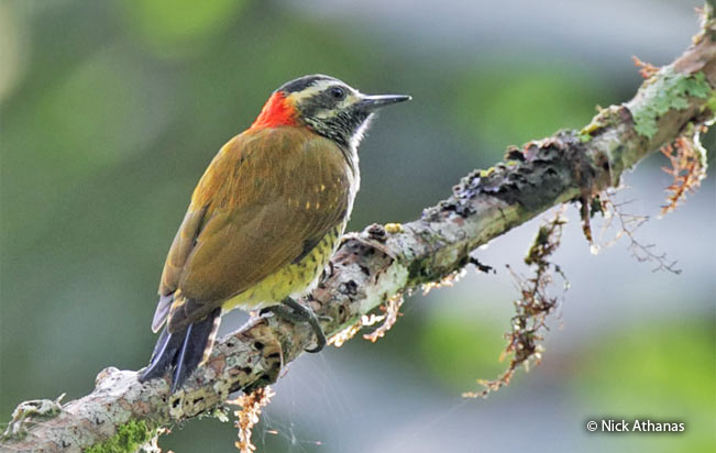 yellow-vented_woodpecker
