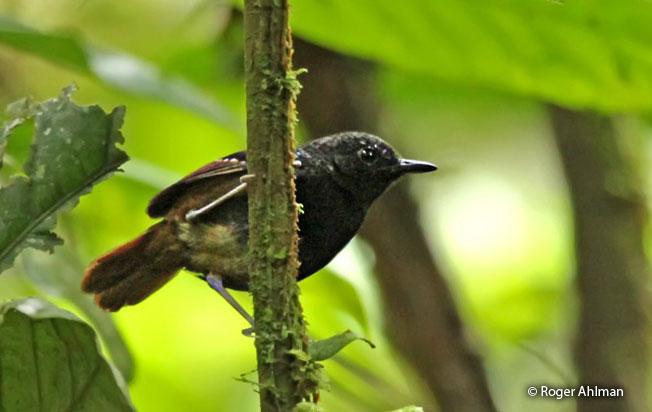 zimmer's_antbird