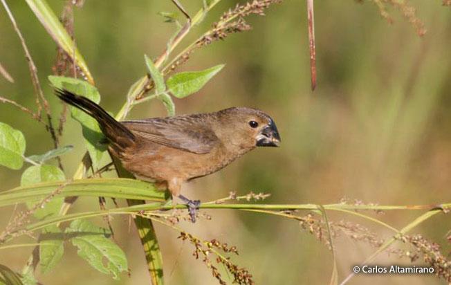 Black-billed-seed-finch