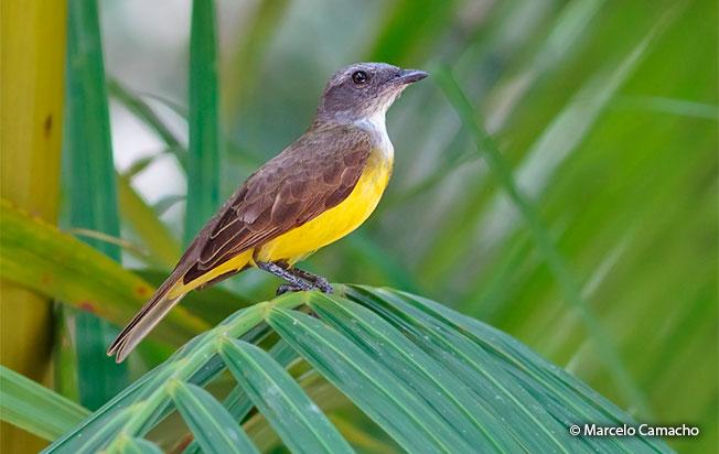 Sulphury-flycatcher