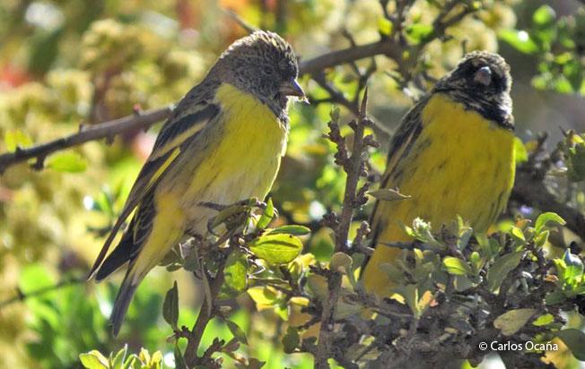 Yellow-rumped-siskin