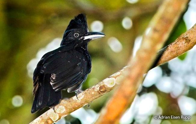 amazonian-umbrellabird