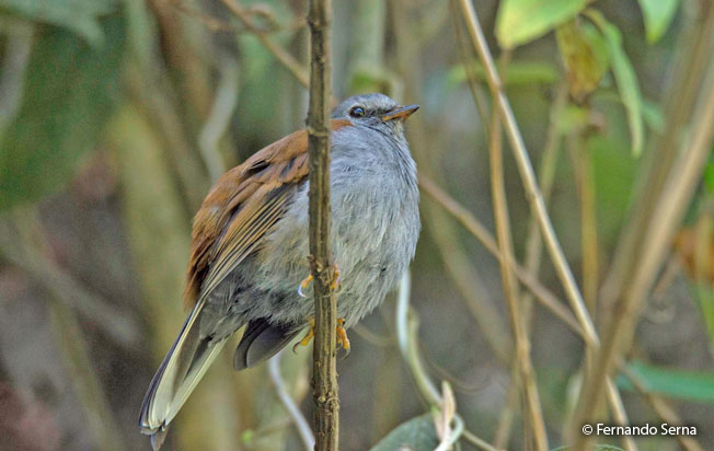 andean_solitaire