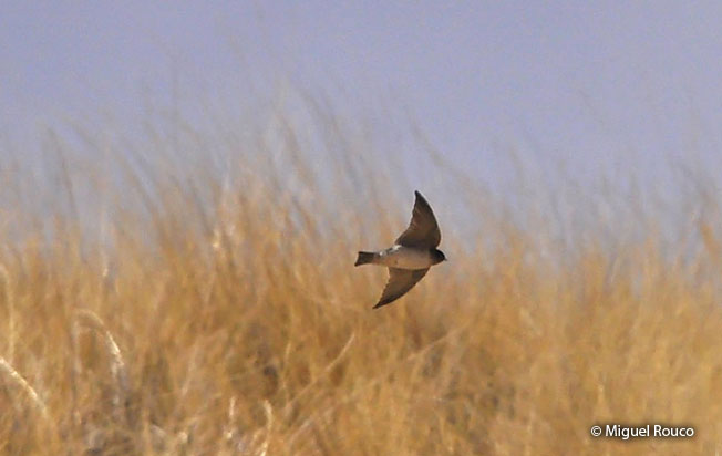 andean_swallow