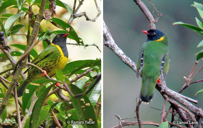 band-tailed_fruiteater