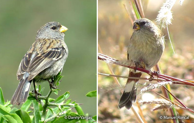 band-tailed_seedeater