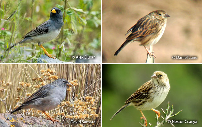 band-tailed_sierra-finch