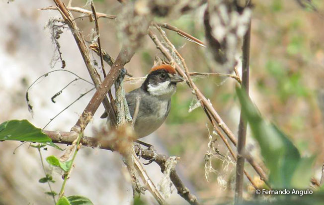 bay-crowned-brush-finch