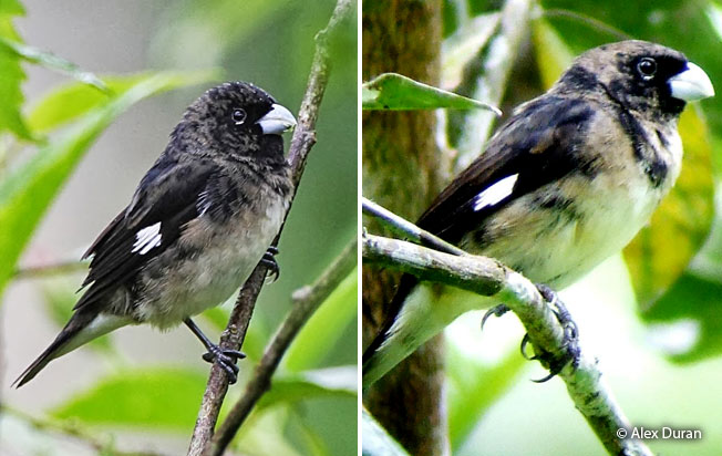 black-and-white-seedeater
