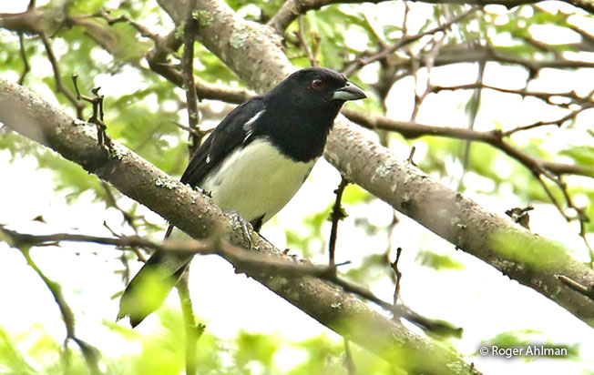 black-and-white_tanager
