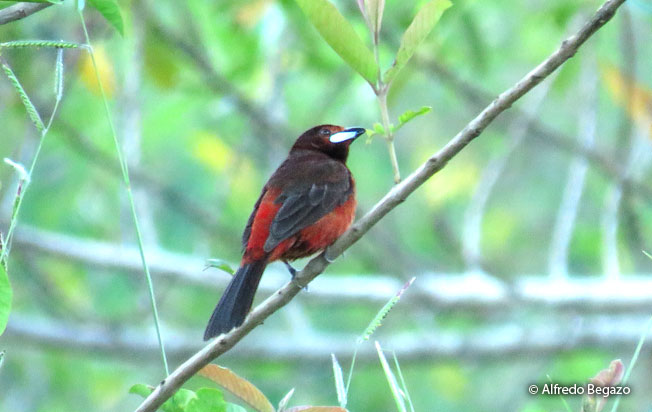 black-bellied_tanager