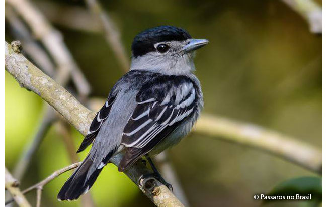black-capped_becard