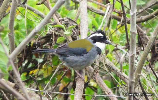 black-capped_sparrow