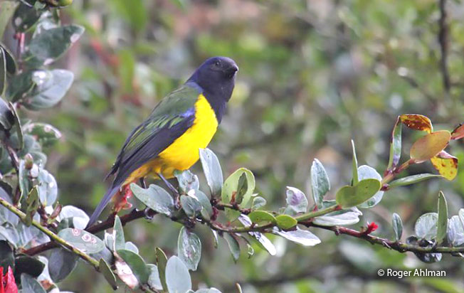 black-chested_mountain-tanager
