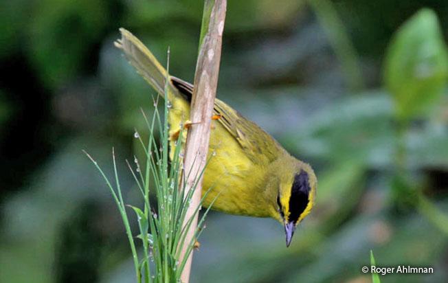 black-crested_warbler