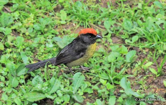 black-faced-brush-finch
