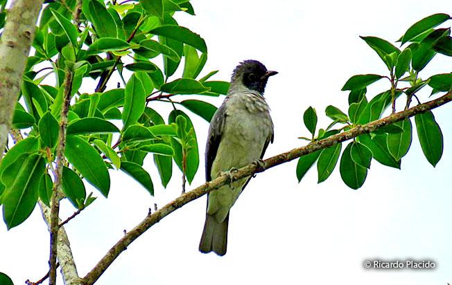 black-faced-cotinga
