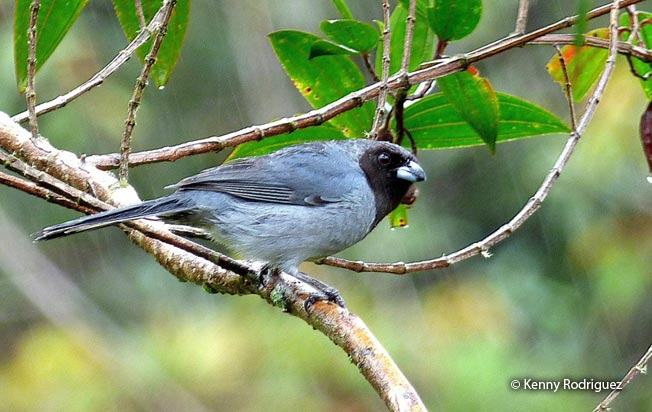 black-faced_tanager