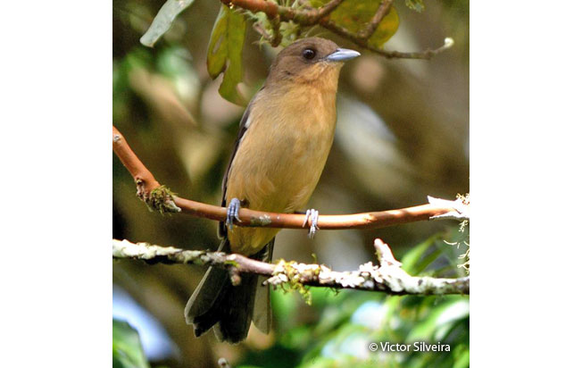 black-goggled_tanager
