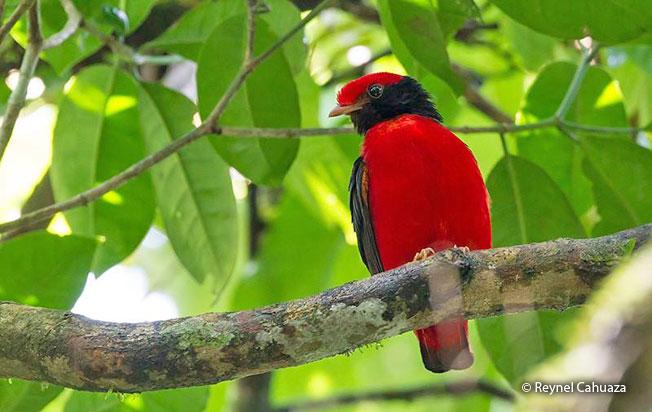 black-necked_red-cotinga
