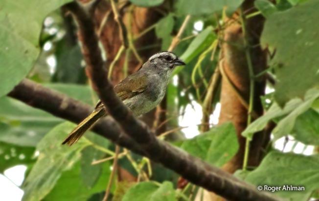 black-striped_sparrow
