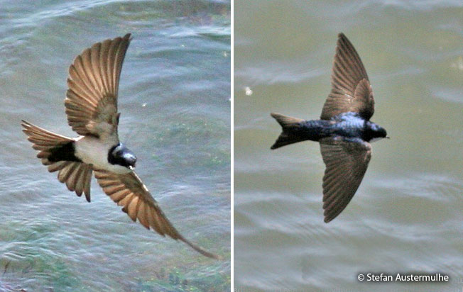 blue-and-white-swallow
