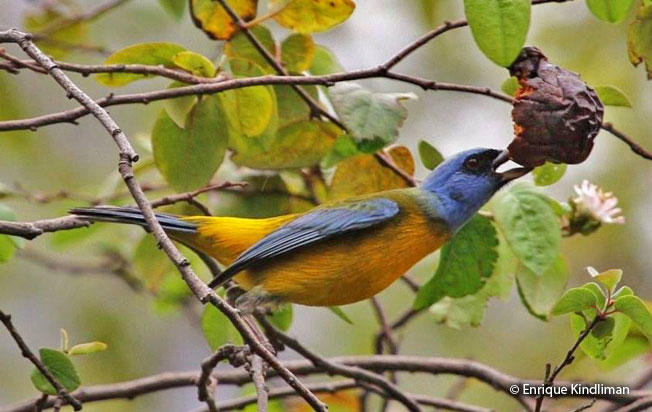 blue-and-yellow_tanager