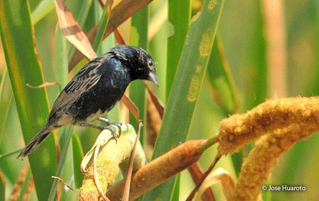 blue-black_grassquit