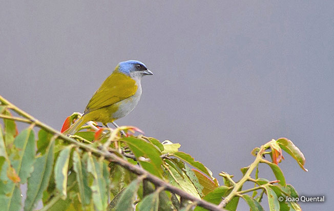 blue-capped_tanager