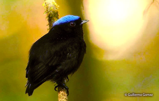 blue-crowned_manakin