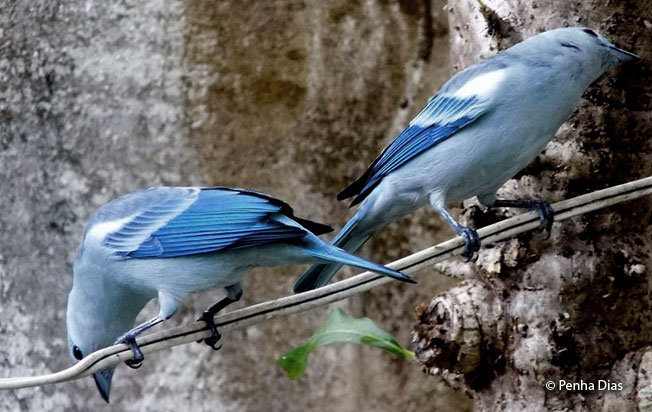 blue-gray_tanager