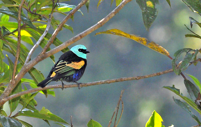 blue-necked_tanager