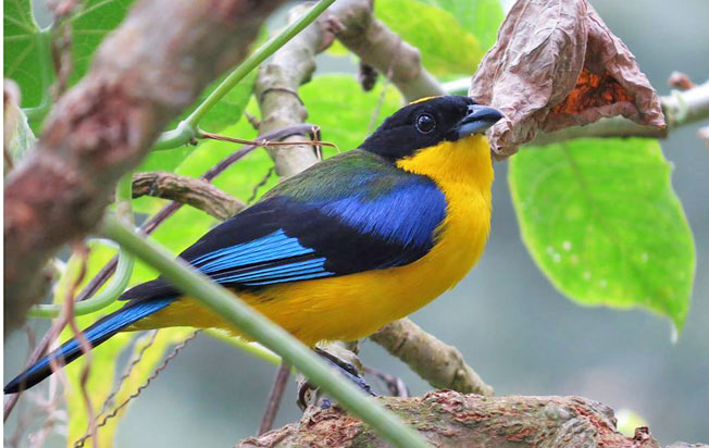 blue-winged_mountain-tanager