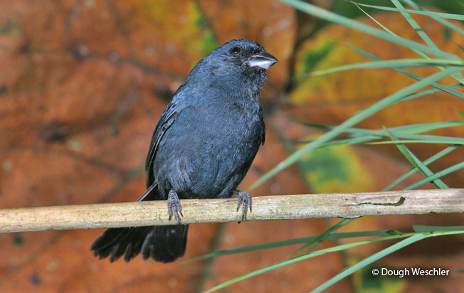 blue_seedeater