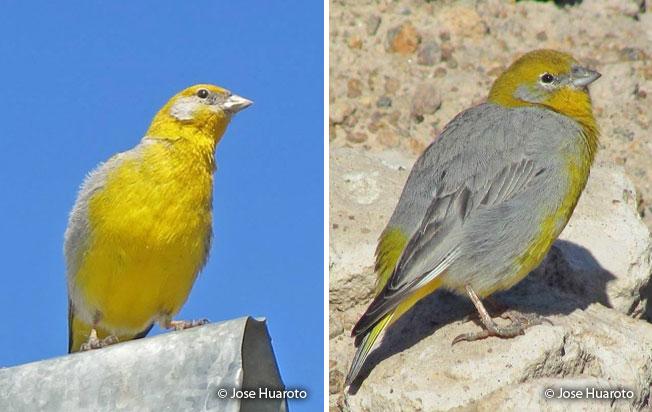 bright-rumped_yellow_finch