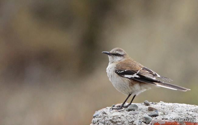 brown-backed_mockingbird