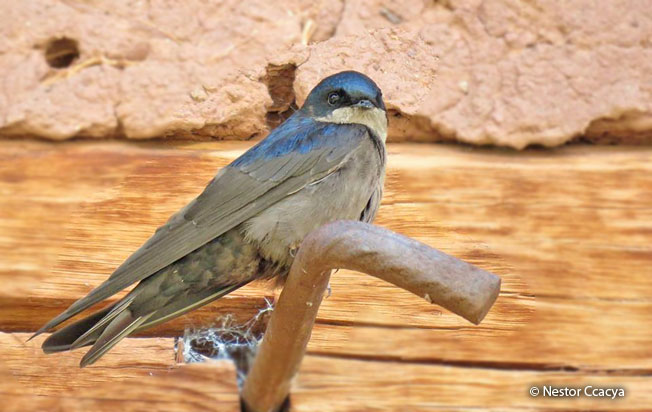 brown-bellied_swallow