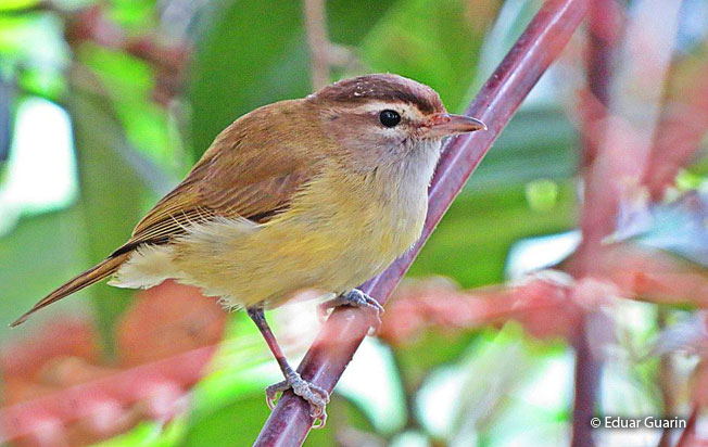 brown-capped_vireo