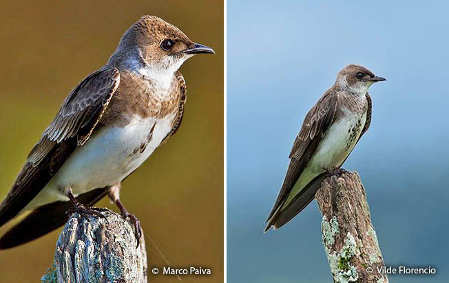 brown-chested_martin