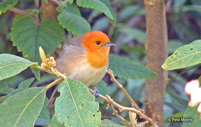 brown-flanked_tanager