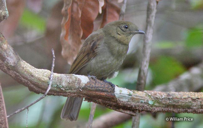 brown-winged_schiffornis