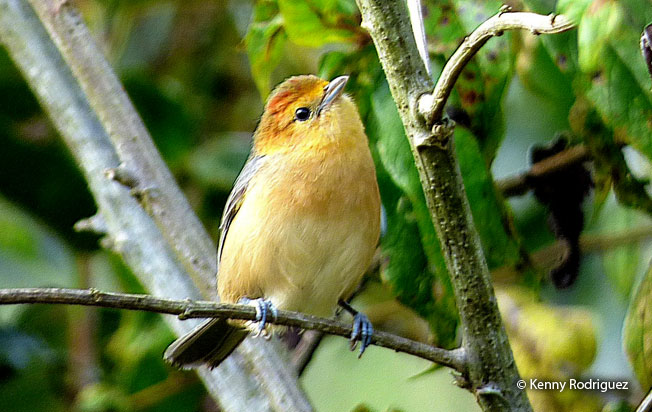 buff-bellied_tanager